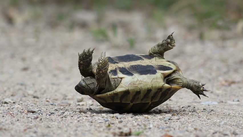 Flipped tortoise